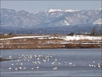 川の浅瀬の白鳥 - じょんのび
