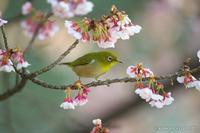 目白 【メジロと寒桜】 #2 - kawanori-photo