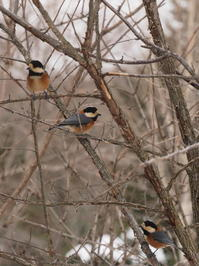 研究林のカラ達 - 今日の鳥さんⅡ