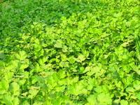 羨ましいこの畑!ビハールのパクチー畑 - インド現地採用 生活費記録