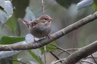 定例の逃げるアオバト - 野鳥写真日記 自分用アーカイブズ