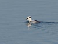 谷中湖のミコアイサ - コーヒー党の野鳥と自然 パート2