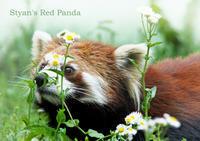 シセンレッサーパンダ:Styan's Red Panda - 動物園の住人たち写真展