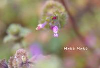 ホトケノザの2月の色。多肉缶。 - Season of petal
