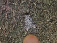 クロバネフユシャク - 一寸の虫にも五分の魂