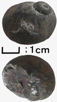和泉層群の化石たち(4)…巻貝(4) - ふぉっしるもしてみむとてするなり