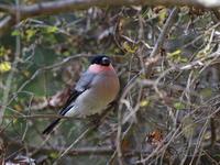 ウソと - 『彩の国ピンボケ野鳥写真館』