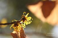 休日のお散歩 *マンサクの花* - 静かな時間