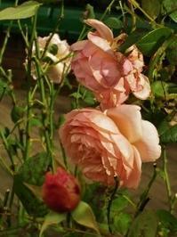 ばらの香り - SONOPIENA