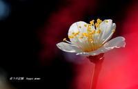 白梅咲き出した・・① - 花々の記憶  happy momo