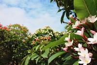 ハワイの花のある風景②プルメリア - クラシノカタチ