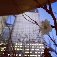 寒桜 - ワタシ流 暮らし方   ~建築のこと日常のこと~