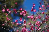 紅梅の咲く公園散歩  - 季節の風を追いかけて