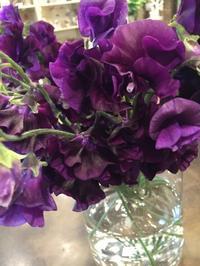 紫色のスイトピー - Hinagiku