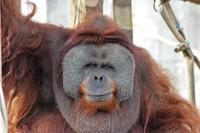 市川市動植物園~スマトラオランウータン「イーバン」 - 続々・動物園ありマス。