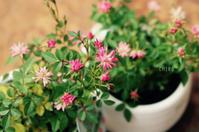 小さな甘い記憶 - CHIROのお庭しごと
