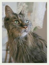22才 ご長寿猫 はんぞう との暮らし 「1月21日~1月25日の はんぞう」 - たびねこ