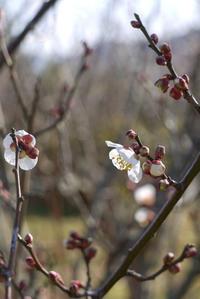 梅の開花…春の兆し - CROSSE 便り