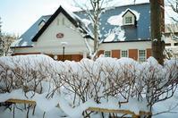 雪に耐える生け垣と修士論文の受領 - 照片画廊