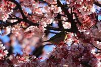 あたみ桜とメジロ - ある日の足跡