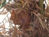 越冬中キタテハ - 秩父の蝶