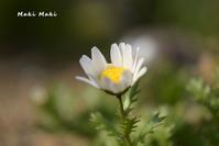 白い花、ノーズポール - Season of petal