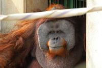 市川市動植物園~スマトラオランウータン「イーバン」その2 - 続々・動物園ありマス。