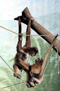 遊ぶクモザルたち - 動物園放浪記