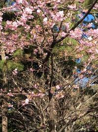 寒桜が満開 お散歩*葉山しおさい公園 - E*N*JOY