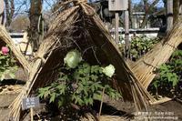 上野東照宮ぼたん苑で冬の牡丹祭り-NO1 - 自然のキャンバス