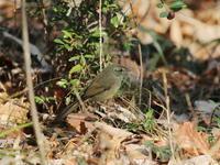ウグイス他 - 『彩の国ピンボケ野鳥写真館』