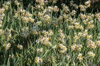 昭和記念公園の節分草 - あだっちゃんの花鳥風月