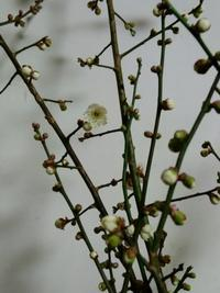梅の剪定がようやく終わり、次は栗の木だ。 - Rose&Farm