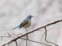 ルリビタキが活き活き - コーヒー党の野鳥と自然 パート2