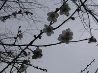 梅の美しい頃になりました・・・ - 岡山の実家・持家・空き家&中古の家をリノベする。
