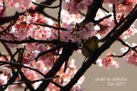 あたみ桜とメジロ2 - ある日の足跡