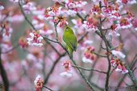 目白 【メジロと寒桜】 #3 - kawanori-photo