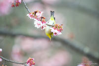 目白 【メジロと寒桜】 #4 - kawanori-photo