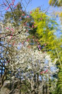 早春の神代植物公園~②梅後半 - 柳に雪折れなし!Ⅱ