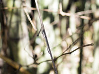 ホソミイトトンボ 越冬探し 5度目 別な場所で初のメスを発見 - オヤヂのご近所仲間日記