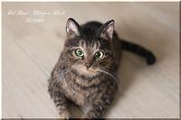 """【1701301】日本猫の玲奈ちゃん - 羊毛フェルト """"うちのコ""""オーダー出来ました"""