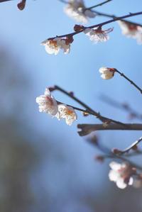 2017.2.3 梅の香り - 「あなたに似た花。」