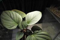 Homalomena sp. 'Gray widow' - PlantsCade -2nd effort