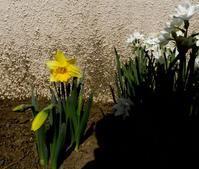 アパートの花壇のユリの花 - キヨセタヨリ