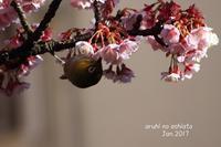 あたみ桜とメジロ3 - ある日の足跡