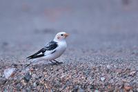 ユキホオジロ 2 - きままに鳥見.