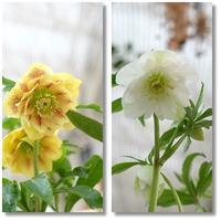 春の足音がしそうなお花たち・・ - mon dimanche blog