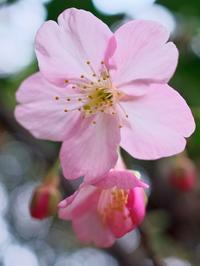 河津桜も始まりました - いや、だから 姉ちゃん じゃなくて ネイチャー・・・
