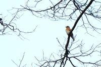 深谷市熊野神社に集う野鳥たち(1/29) - 何でも写真館