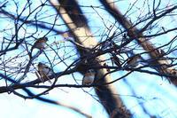 熊野神社に集う野鳥たち(2月4日) - 何でも写真館